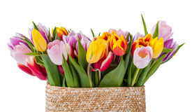 Tulip flowers isolated Stock Image
