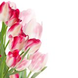Tulip flowers isolated on white. EPS 10 Stock Photography