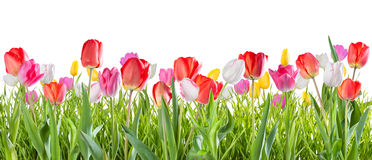 Tulip flowers isolated Royalty Free Stock Photos