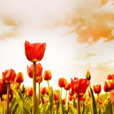 Tulip Flowers Meadow Stock Photos