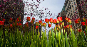 Tulip Flowers in New York City Park Stock Images