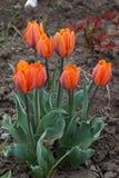 Tulip flowers. Tulip it is nice springs flowers Stock Image