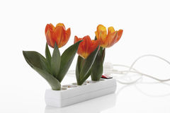 Tulip flowers in outlet on white background Royalty Free Stock Images