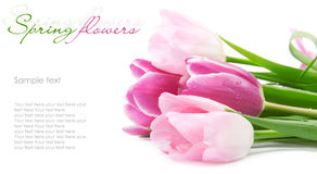 Tulip flowers postcard concept Royalty Free Stock Photos
