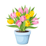 Tulip flowers in a pot. Vector illustration. Stock Photo