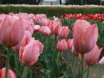 Tulip flowers on rainy day Stock Photo