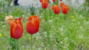 Tulip flowers red field landscape. Video 4k stock footage