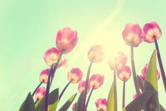 Tulip Flowers Royalty Free Stock Photography