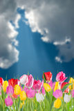 Tulip flowers and sky Royalty Free Stock Photography