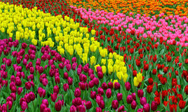 Tulip flowers in spring Stock Image
