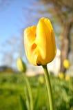 Tulip flowers in spring season Stock Photo