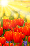 Tulip flowers with sun rays Royalty Free Stock Images