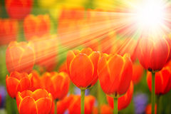 Tulip flowers with sun rays Royalty Free Stock Photography