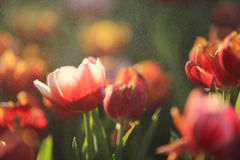 Tulip flowers in sunset and raindrop. In close up Stock Image