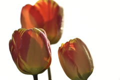Tulip flowers in sunshine. Red tulip flowers in sunshine rays Royalty Free Stock Photos