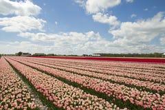 Tulip Flowers to the blue horizon Stock Photos