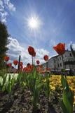 Tulip flowers. And sun at Namestie SNP square in Banska Bystrica, Slovakia Stock Image