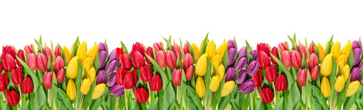 Tulip flowers water drops Floral banner Royalty Free Stock Photography