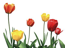 Tulip flowers on white Stock Image