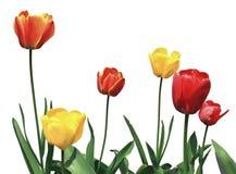 Tulip flowers on white