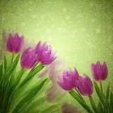 Tulip flowers on the white Stock Photography