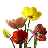 Tulip flowers in white back. Some colorful tulip flowers isolated on white Stock Photo