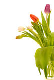 Tulip flowers on white background Royalty Free Stock Photo