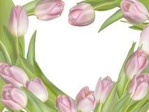 Tulip flowers on white background. EPS 10 Stock Image