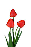Tulip flowers on a white background Royalty Free Stock Images