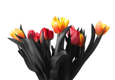 Tulip flowers,  on white background Royalty Free Stock Images
