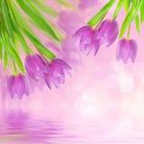 Tulip flowers on the white Royalty Free Stock Photos