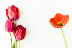 Tulip flowers on white table with human hand and copy space for. Tulip flowers on white table with copy space for your text top view Stock Images