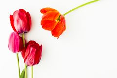 Tulip flowers on white table with human hand and copy space for. Tulip flowers on white table with copy space for your text top view Royalty Free Stock Image