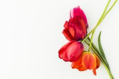 Tulip flowers on white table with human hand and copy space for. Tulip flowers on white table with copy space for your text top view Stock Photography