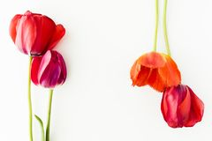 Tulip flowers on white table with human hand and copy space for. Tulip flowers on white table with copy space for your text top view Royalty Free Stock Photo