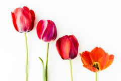 Tulip flowers on white table with human hand and copy space for. Tulip flowers on white table with copy space for your text top view Royalty Free Stock Photography