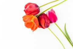 Tulip flowers on white table with human hand and copy space for. Tulip flowers on white table with copy space for your text top view Royalty Free Stock Photos