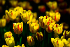 Tulip flowers of yellow and red color on a flowerbed Royalty Free Stock Photo