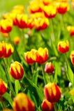 Tulip flowersbed Stock Images