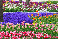 Tulip Forest Stock Images