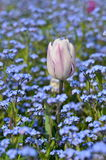Tulip among forget-me-not flowers. Close shot of a single white tulip growing among forget-me-not flowers. Vertical composition Royalty Free Stock Images