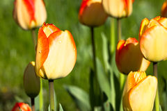 Tulip Fowers jaune intelligente Images stock