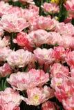 Tulip FoxTrot 1 Arkivfoton