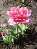 Tulip 'Foxtrot' (Double Early Tulip) Royalty Free Stock Images