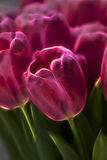 Tulip Fractal cor-de-rosa Imagens de Stock Royalty Free
