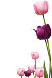 Tulip Fram. A pink and purple tulip frame Royalty Free Stock Images