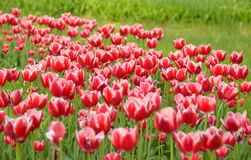 Tulip. Fresh red tulips Glade. Field with red tulips . Red tulips background. Group of red tulips in the park. Spring Stock Image