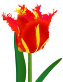Tulip with fringe Stock Images