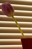 Tulip in front of window-blind Stock Photography