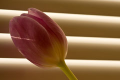 Tulip in front of window-blind Royalty Free Stock Images